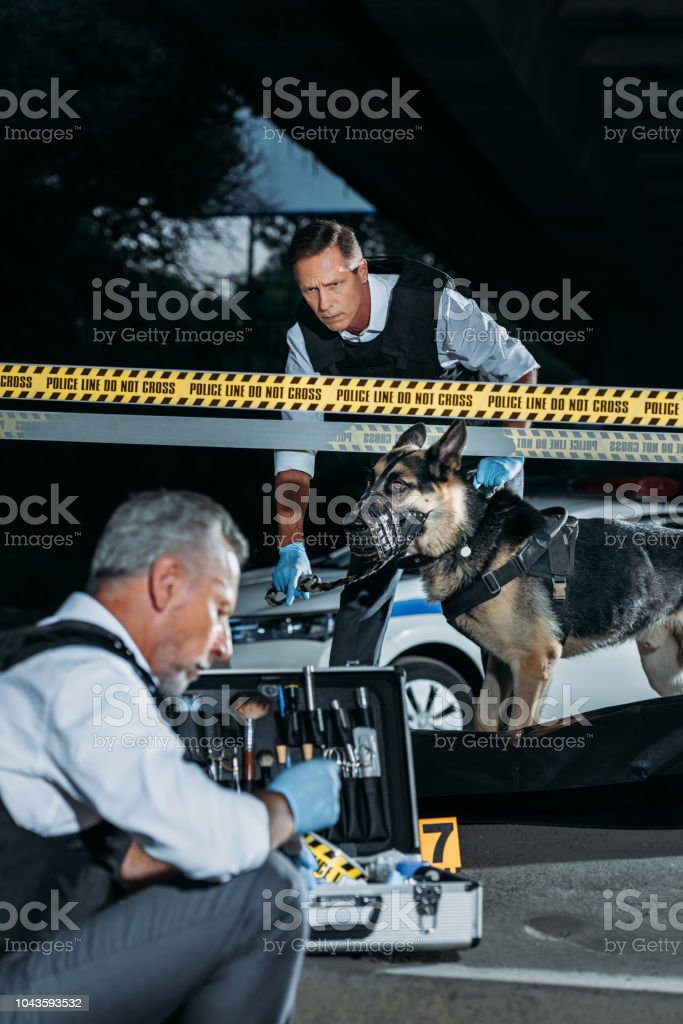 mature policeman sitting with case for investigation tools while his colleague with alsatian on leash standing near corpse in body bag at crime scene stock photo