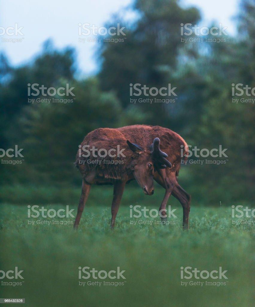 成熟的紅鹿鹿抓著他的大腿。站立在春天風景。 - 免版稅動物圖庫照片