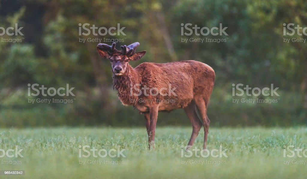 Mature red deer stag with growing antler in meadow during spring. zbiór zdjęć royalty-free