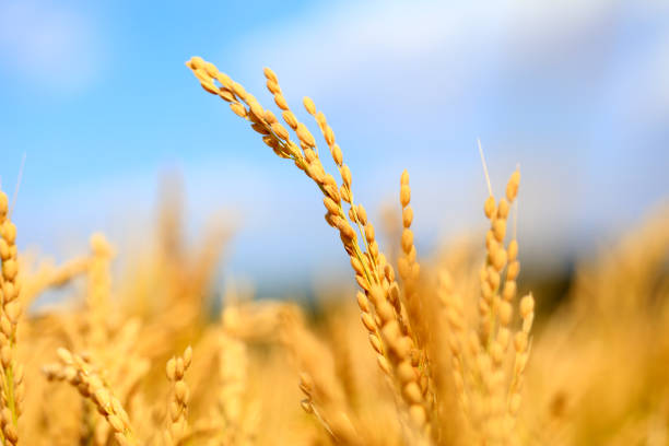Mature rice in rice field, under the blue sky white clouds stock photo