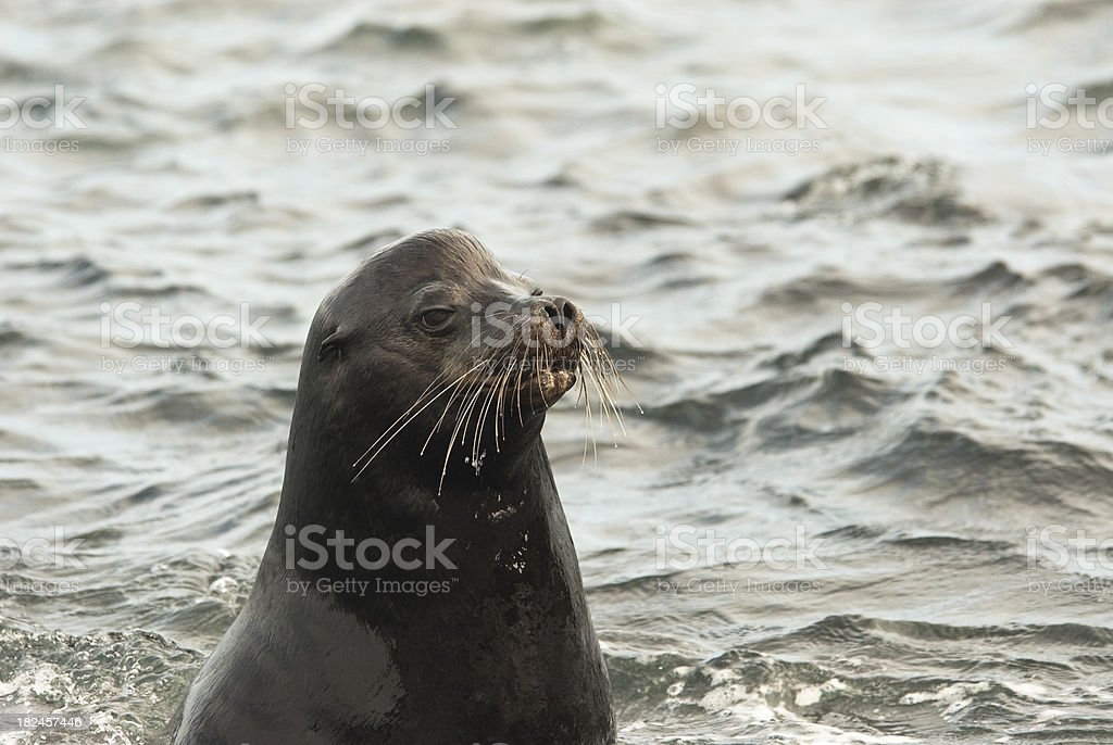 Mature Sea Lion in the Galapagos royalty-free stock photo