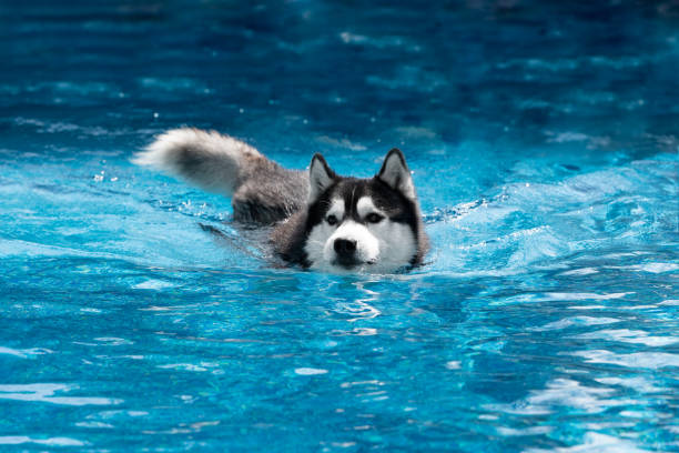 A mature Siberian husky male dog is swimming in a pool. He has black and white fur and blue eyes. The water has a blue color, with waves and splashes. It's a sunny summer day. husky dog stock pictures, royalty-free photos & images