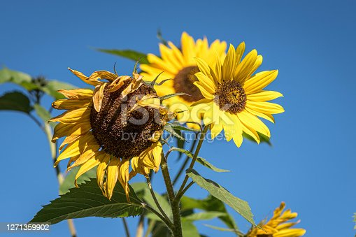 Sunflower blossoms isolated on blue sky
