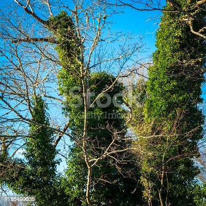 istock Mature tree trunks entirely covered in invasive climbing ivy vines 1195499035