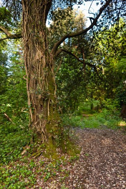 Mature vines on tree trunk, Cong Village, County Mayo, Ireland stock photo