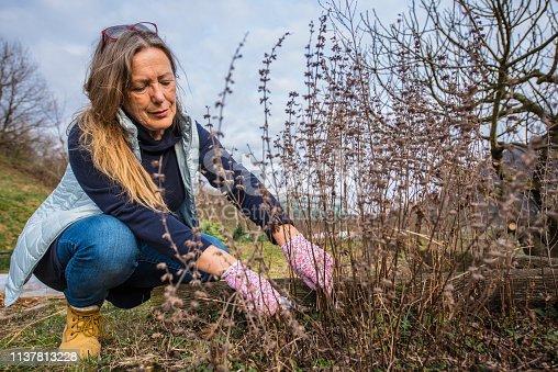 Mature Woman Gardener Pruning Dead Mantha Bush