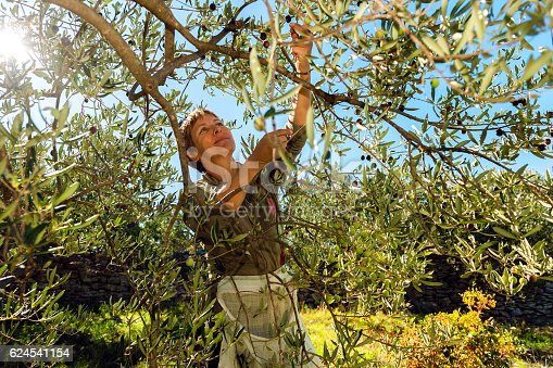 istock Mature Woman Harvesting Olives in Brac, Croatia, Europe 624541154
