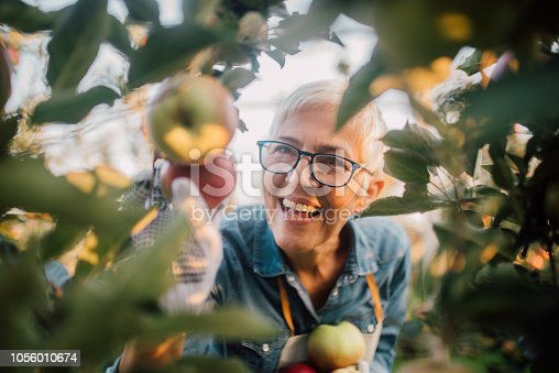 1056015258 istock photo Mature woman picking apples 1056010674