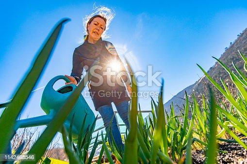 Mature Woman Watering Welsh Onion in Her Vegetable Garden.