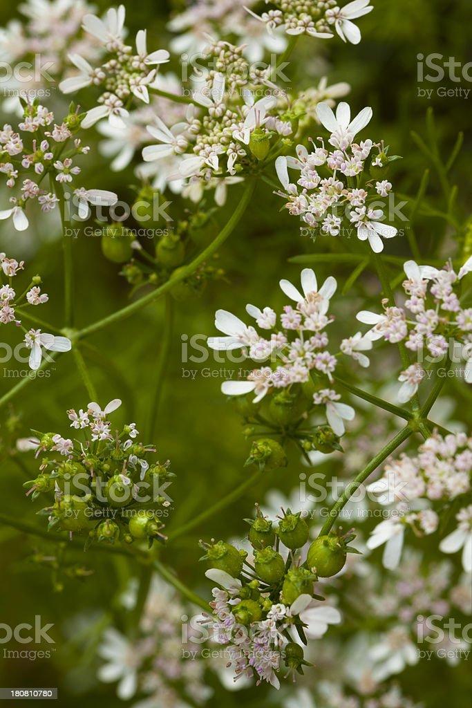 Matured Coriander Herb Blossom and Seeds in Kitchen Garden stock photo
