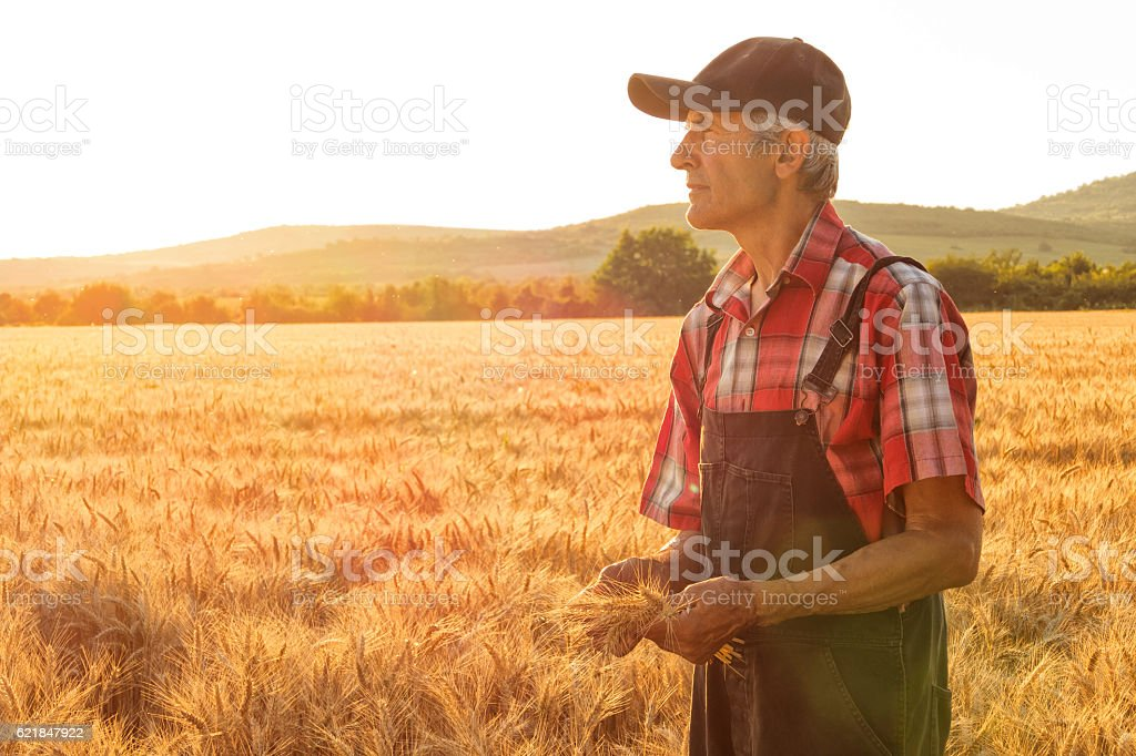 Matured farm worker standing in the middle of wheat field stock photo