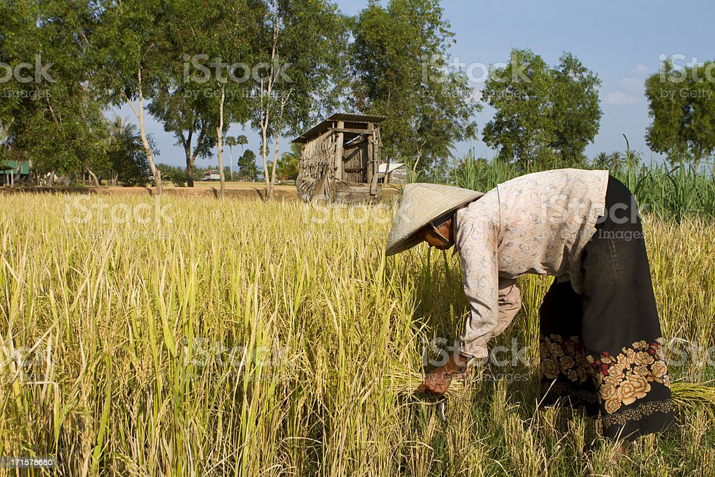 Matured woman with straw hat harvesting the rice royalty-free stock photo