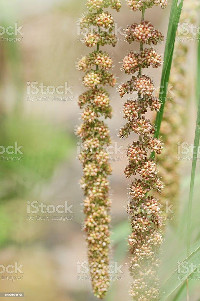 maturing millet royalty-free stock photo