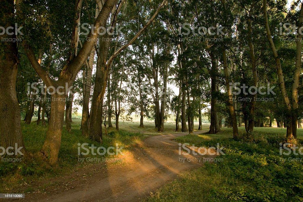 Matutinal forest royalty-free stock photo