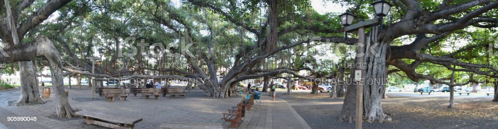 Maui Banyan Tree Court stock photo
