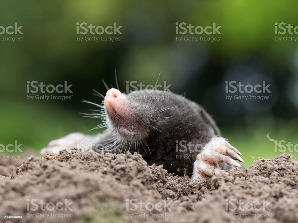 Mole – Foto