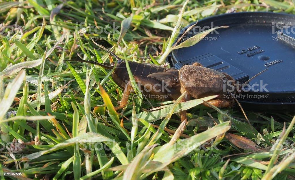 Maulwurfsgrille über Tage ( Gryllotalpidae) stock photo