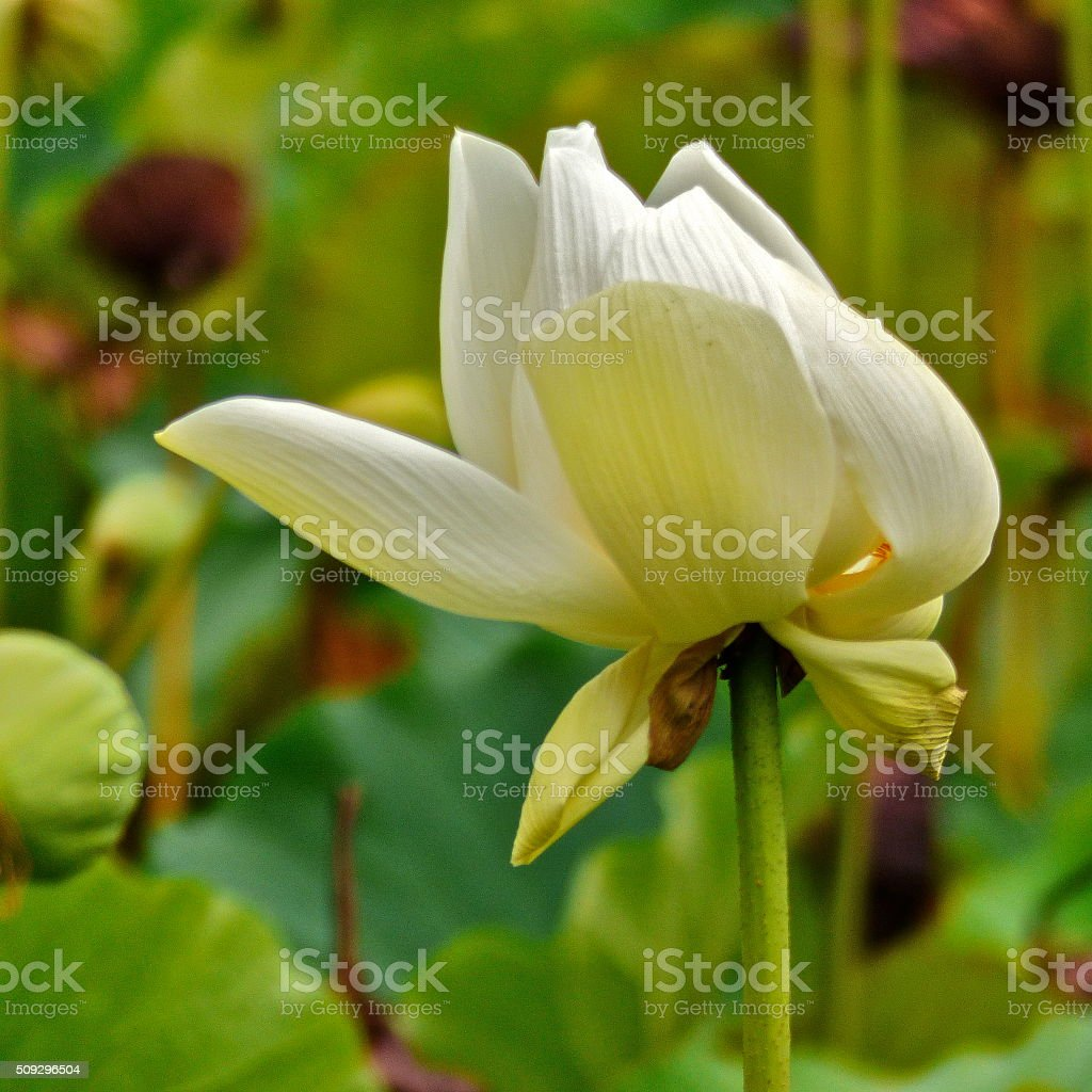 Ile Maurice Jardin Pamplemousse Fleur De Lotus Stock Photo 509296504