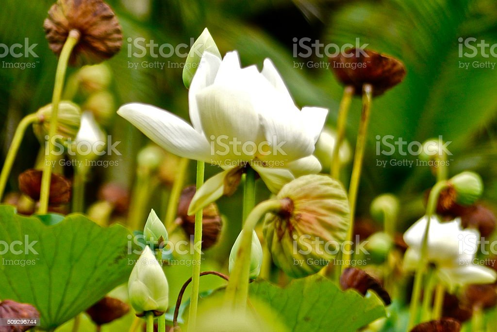 Ile Maurice Jardin Pamplemousse Fleur De Lotus Stock Photo More