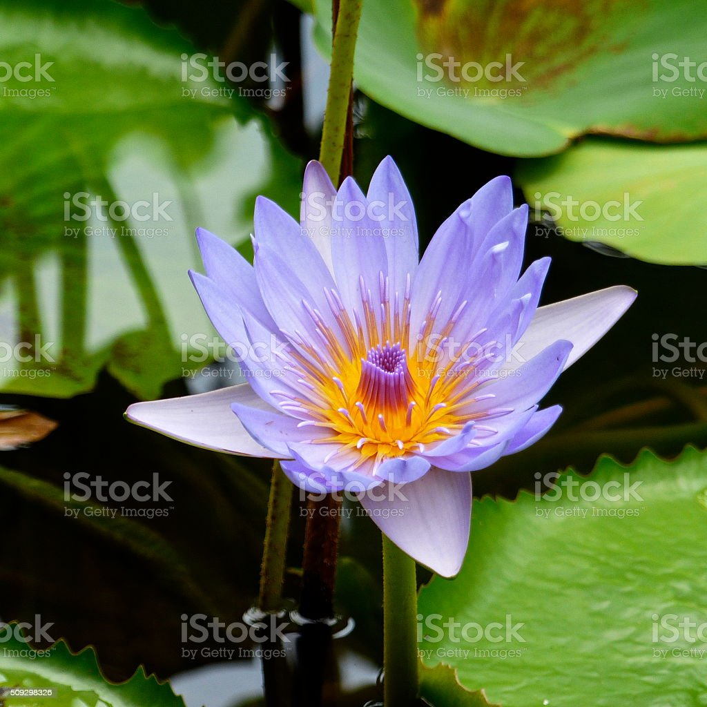 Ile Maurice Jardin Pamplemousse Nenuphar Fleur Stock Photo More