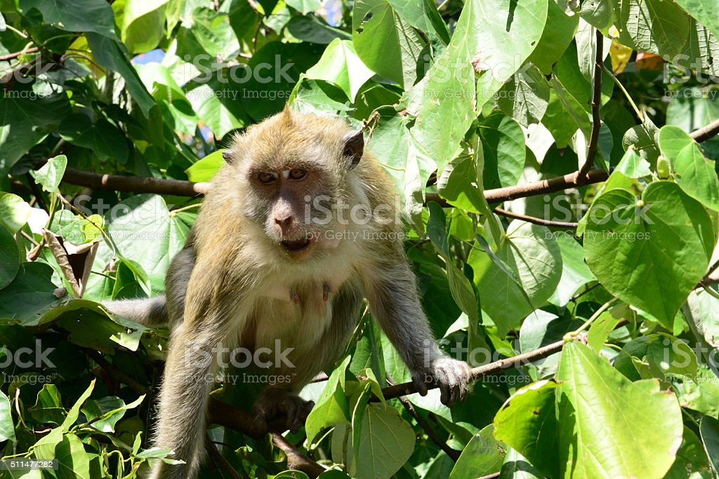 Mauritius, monkey in a tree in Mahebourg area stock photo