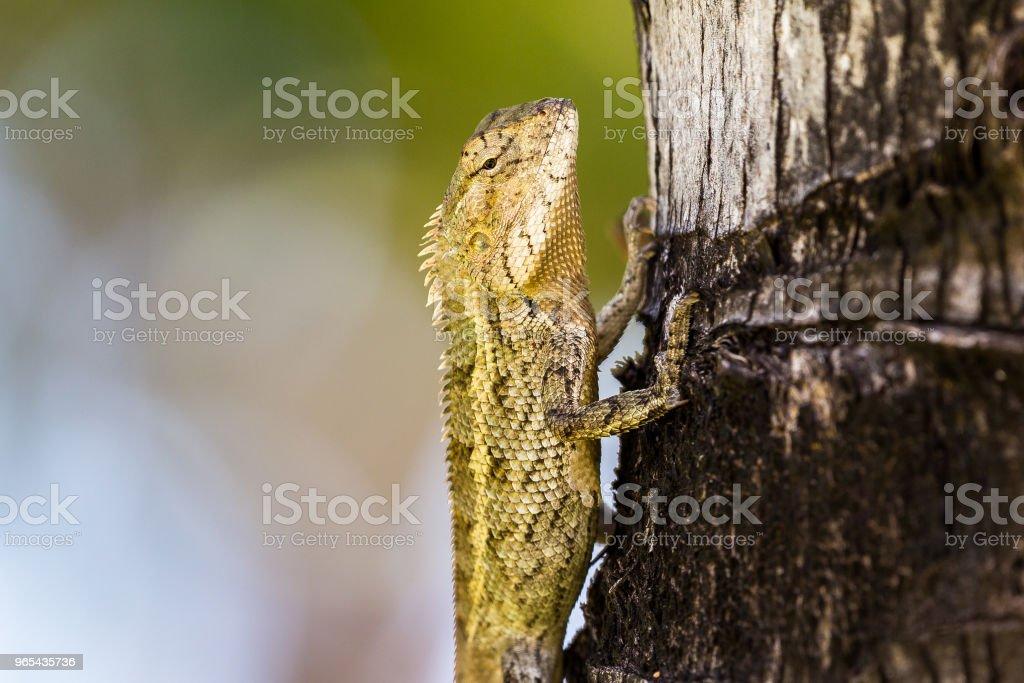 Mauritius oriental garden lizard zbiór zdjęć royalty-free
