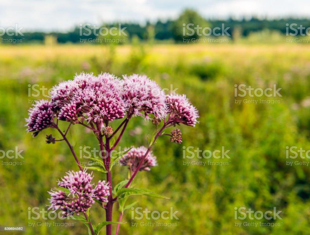 Mauve flower heads of hemp-agrimony from close stock photo