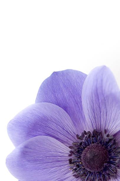 Mauve Poppy stock photo
