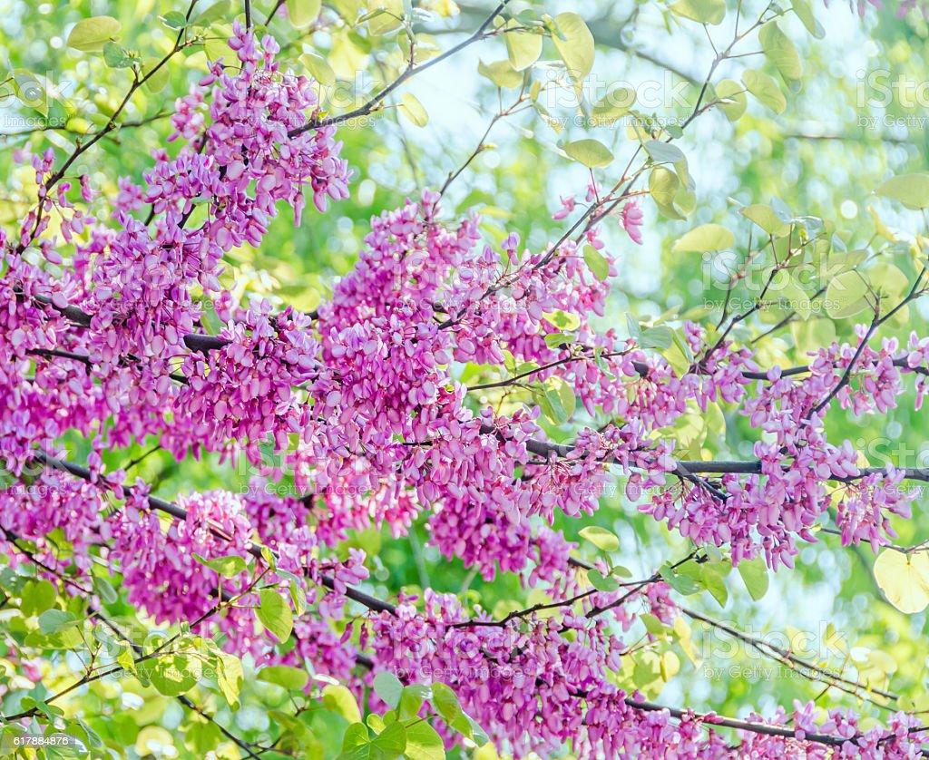 Mauve, purple Cercis siliquastrum tree flowers stock photo