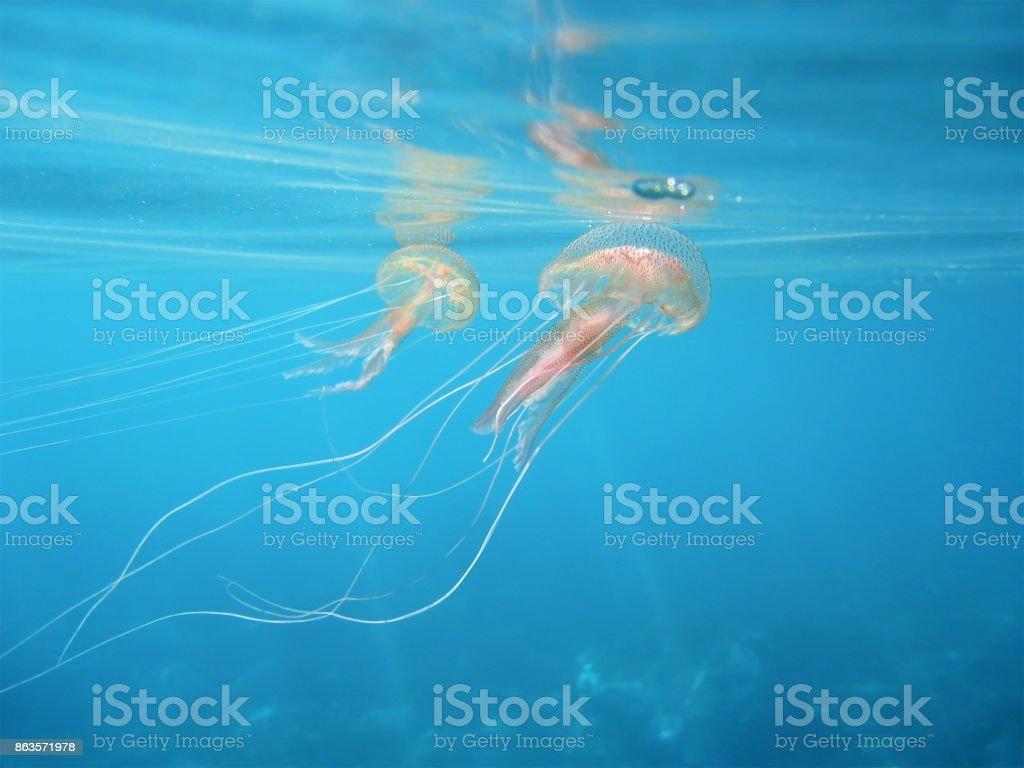 Mauve stinger jellyfish underwater Mediterranean sea stock photo