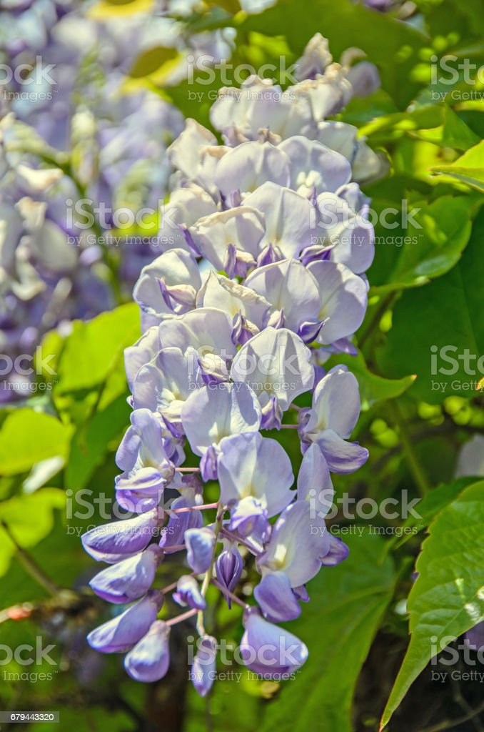 Mauve violet Wisteria bush climbing flowers, outdoor close up, Fabaceae family royalty-free stock photo
