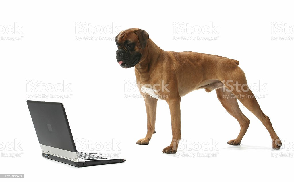 Max in front of laptop royalty-free stock photo