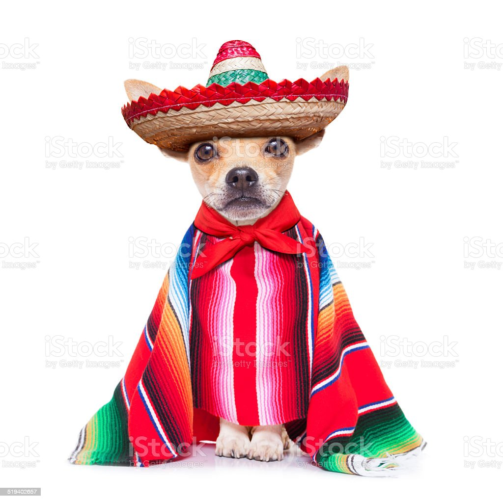 maxican chihuahua stock photo