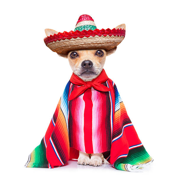 maxican chihuahua fun mariachi mexican chihuahua dog wearing a sombrero hat and red poncho, isolated on white background mexican culture stock pictures, royalty-free photos & images