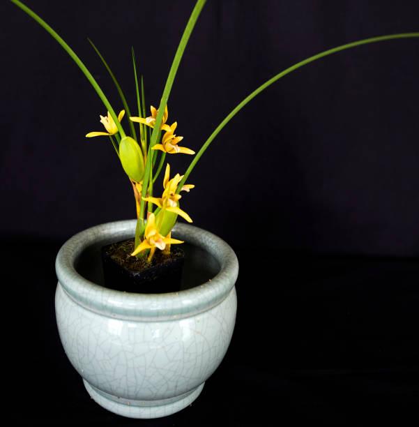 Maxillaria Tenuifolia Yellow Orchid stock photo