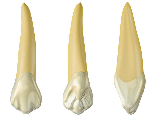 maxillary canine tooth in the buccal, palatal and lateral views. Realistic 3d illustration of maxillary canine tooth. maxillary canine tooth in the buccal, palatal and lateral views. Realistic 3d illustration of maxillary canine tooth. cusp stock pictures, royalty-free photos & images