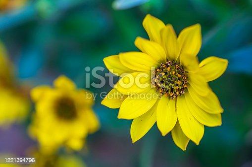 Maximilian Sunflower, Eastbourne, UK