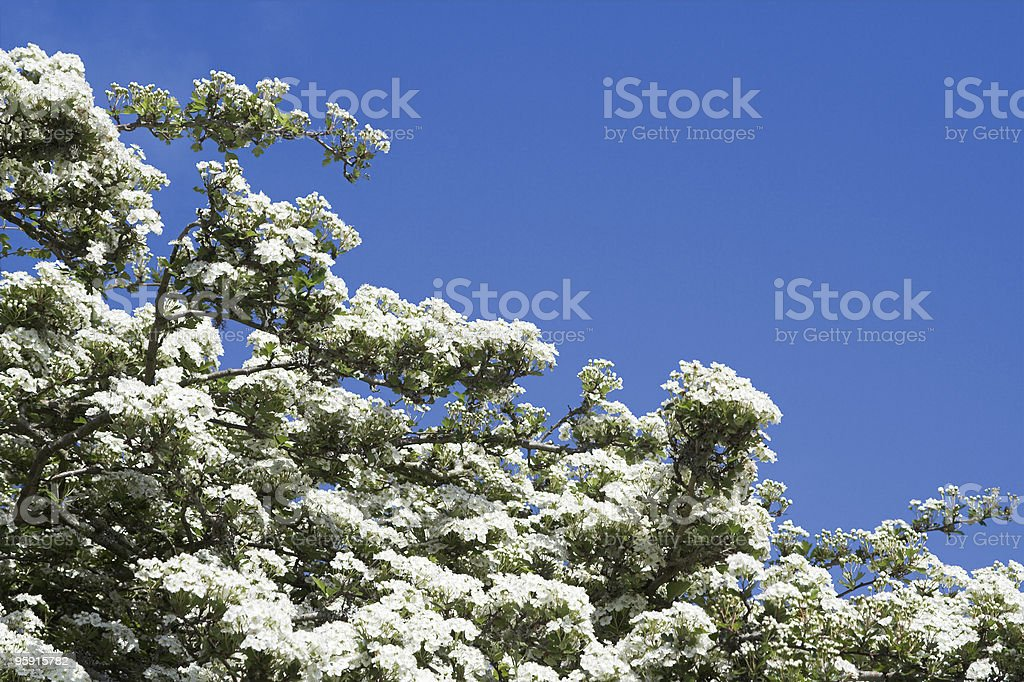 May Blossom Against Blue Sky royalty-free stock photo