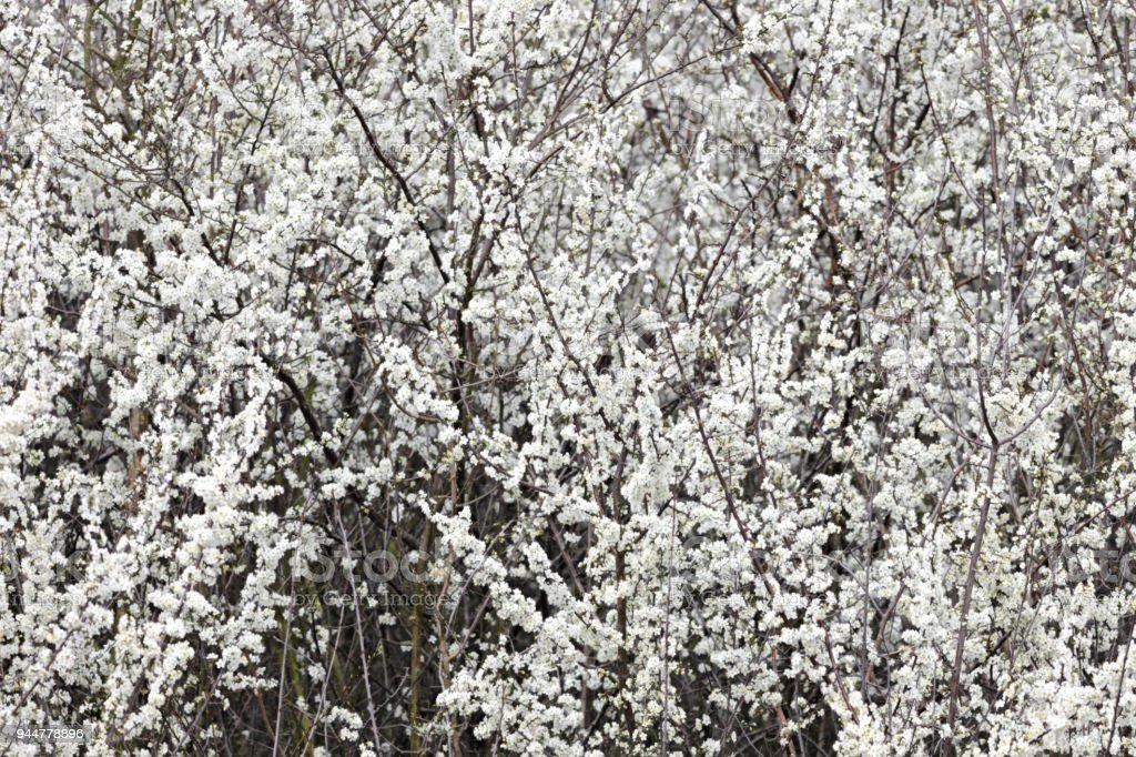 May blossom in April blackthorn Prunus spinosa stock photo