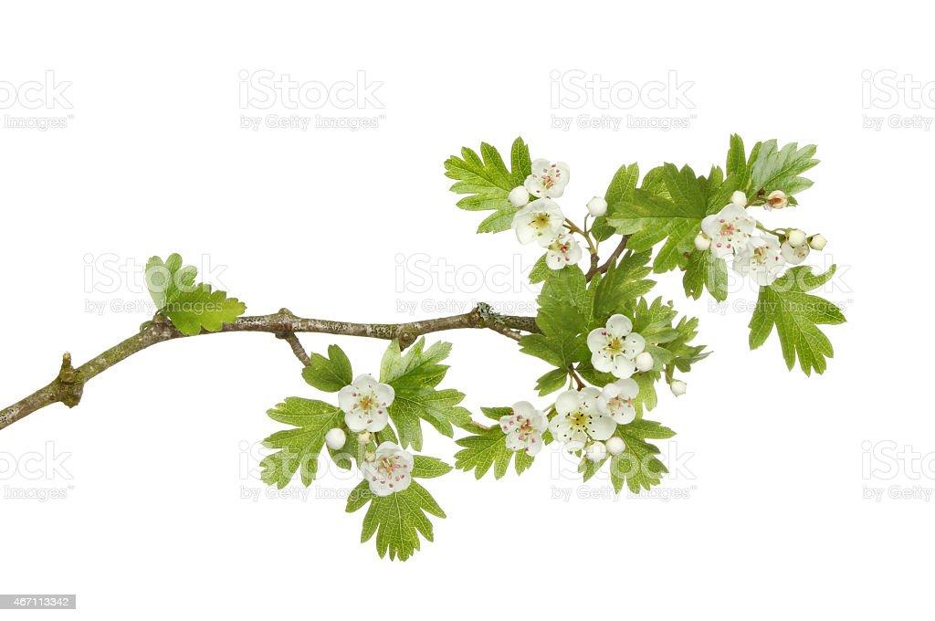 Может blossom стоковое фото