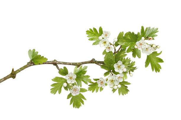 May blossom on white background May blossom, Spring  flowers and leaves of a hawthorne tree isolated against white branch plant part stock pictures, royalty-free photos & images