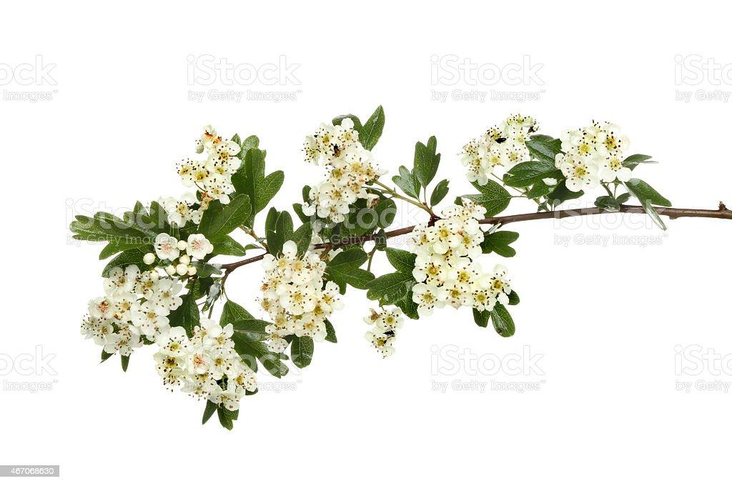 May blossom stock photo