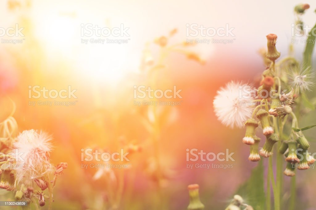 May Flowers Field Of Camomiles In Garden In Sunny Day For