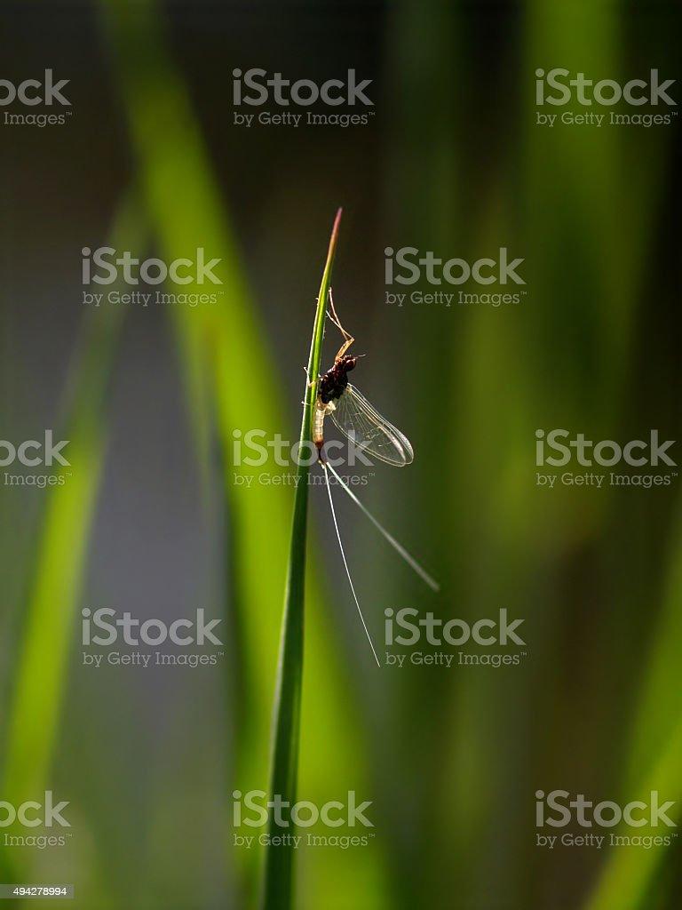 May Fly stock photo