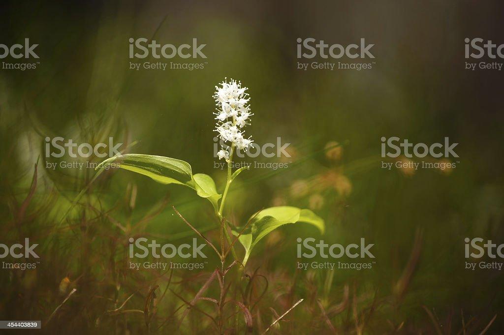 May lily (maianthemum bifolium). royalty-free stock photo