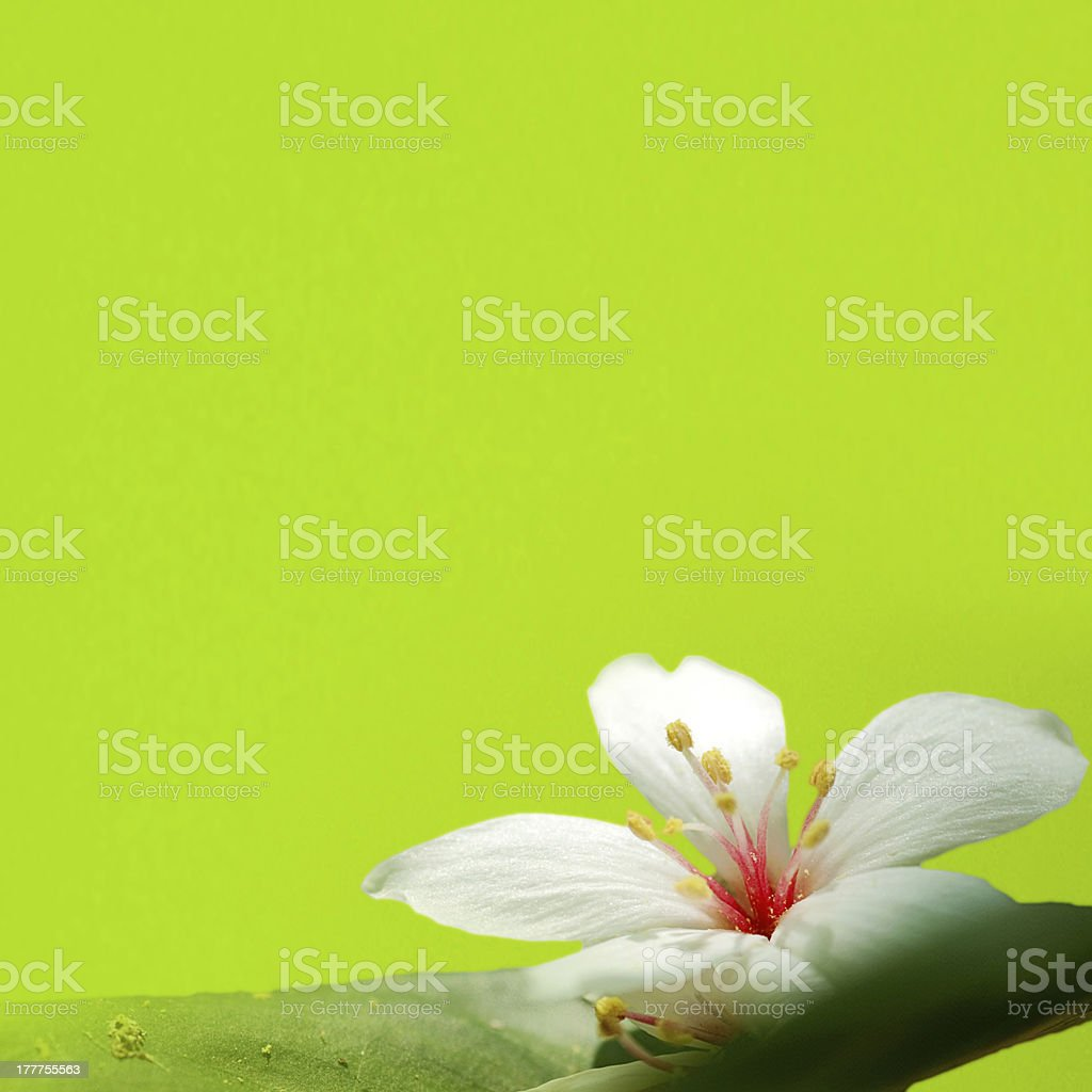 TUNG TREE FLOWER IN May royalty-free stock photo