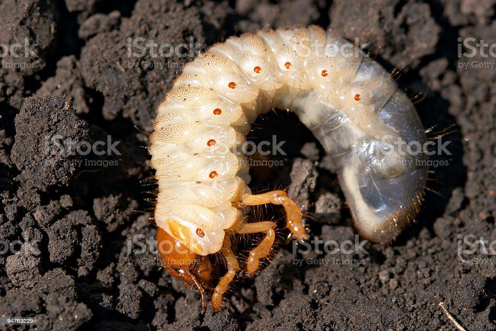 may-bug grub (Melolontha vulgaris) stock photo