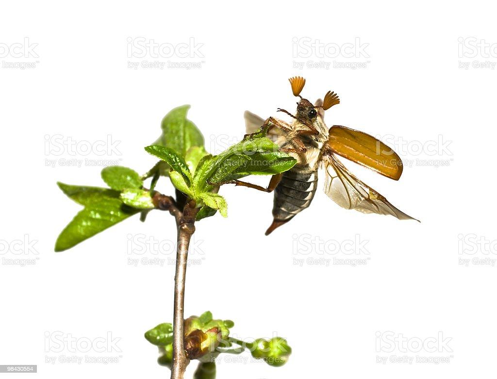 Maggio-bug sul ramo di albero foto stock royalty-free