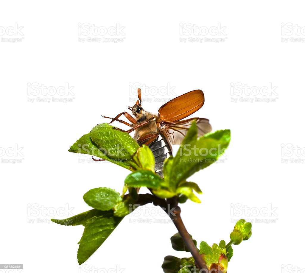 may-bug on the branch of tree royalty-free stock photo