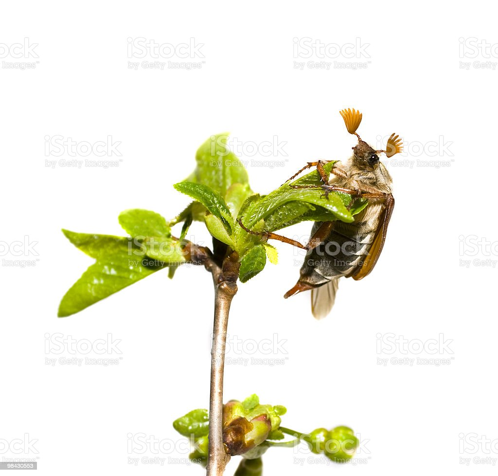 may-bug on the branch of tree,  white background royalty-free stock photo